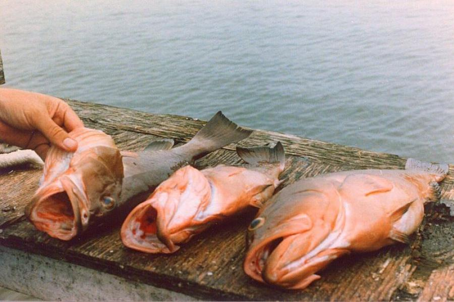 3 red grouper on a dock.