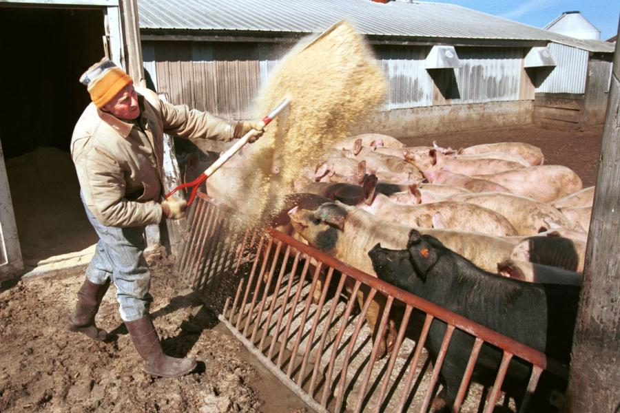 Pork producer Max Schmidt feeds 8-month-old gilts, or young female hogs, on his farm in Elma, Iowa.