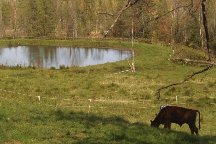 A Holstein cow grazes by a pond in Lancaster, NH. Photo credit: Bloomberg.