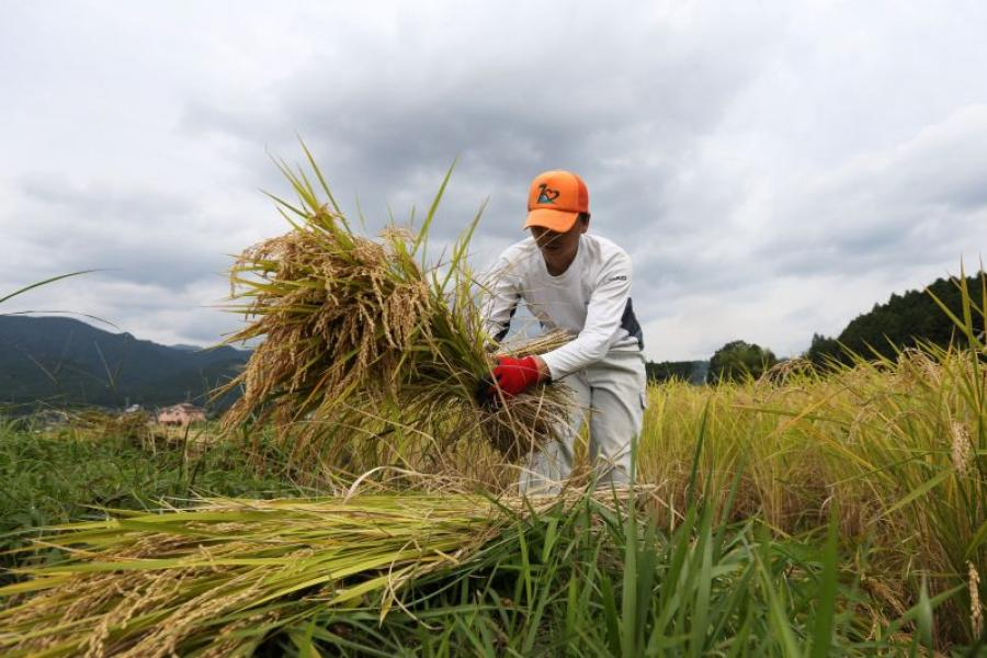 A Japanese farmer collects harvested rice ready to dry in a paddy field.
