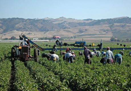 Farm workers harvesting yellow bell peppers near Gilroy, CA.