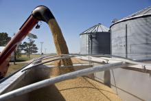 Soybeans are loaded into a truck during harvest in Princeton, IL.