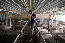 A farmer talks on a cell phone while tending to hogs in Walcott, IA.